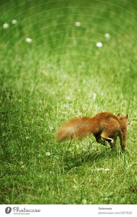 Der Klassiker unter den Hörnchen Freiheit Sommer Umwelt Natur Pflanze Tier Gras Park Wiese Wildtier Eichhörnchen rennen Bewegung laufen springen kuschlig klein