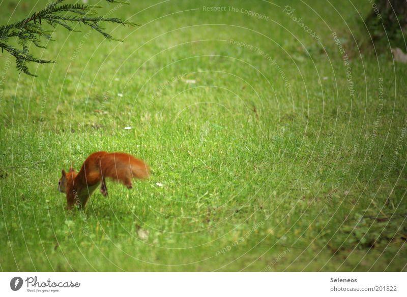 Der Teufel ist ein Eichhörnchen Natur Baum Pflanze Tier Umwelt Wiese Landschaft Freiheit Gras Haare & Frisuren klein Park gehen Freizeit & Hobby laufen Wildtier