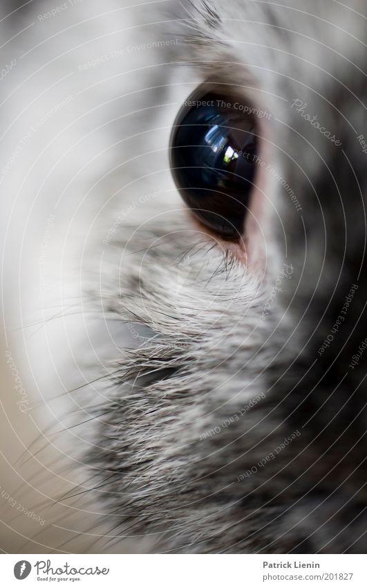 Eye of the tiger Tier schwarz Auge grau groß süß Fell Haustier Hase & Kaninchen direkt Osterhase Nagetiere