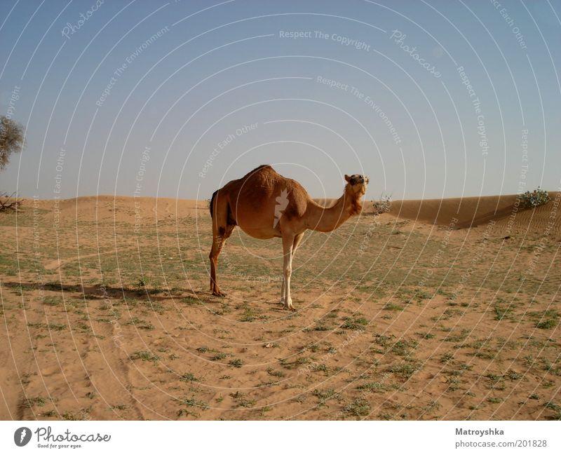 Das Meer ohne Wasser Ferien & Urlaub & Reisen Wärme Wüste Arabien Nutztier Kamel Dromedar Blick stehen frei heiß trocken Kultur Neugier Farbfoto Außenaufnahme