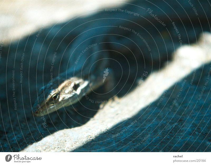 Echse Farbfoto Gedeckte Farben Nahaufnahme Detailaufnahme Licht Schatten Kontrast Unschärfe Schwache Tiefenschärfe Tierporträt Natur Erde Sand Sonnenlicht Wärme