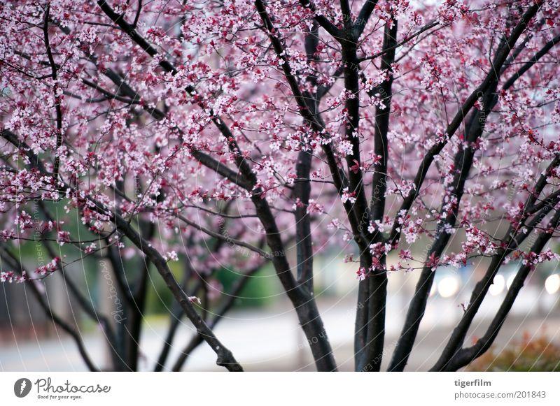 feuchte Baumblüten Blüte rosa nass Regen dunkel Scheinwerfer Straße Ast Frühling Muster Hintergrundbild Lampe Blume Blühend Jahreszeiten Natur lieblich