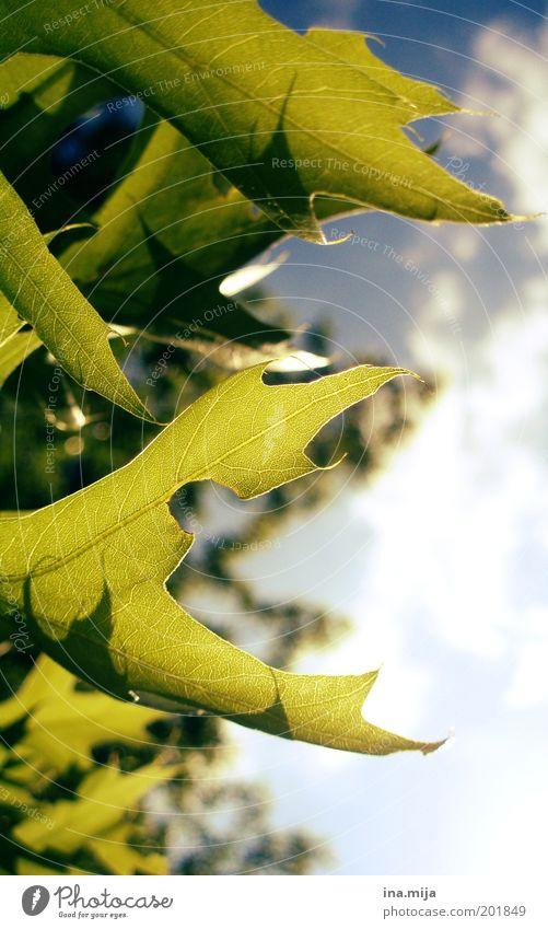 zick-zack-blatt Umwelt Natur Himmel Wolken Sonnenlicht Frühling Sommer Schönes Wetter Pflanze Blatt Grünpflanze grün Frühlingsgefühle Sommerlaune stachelig