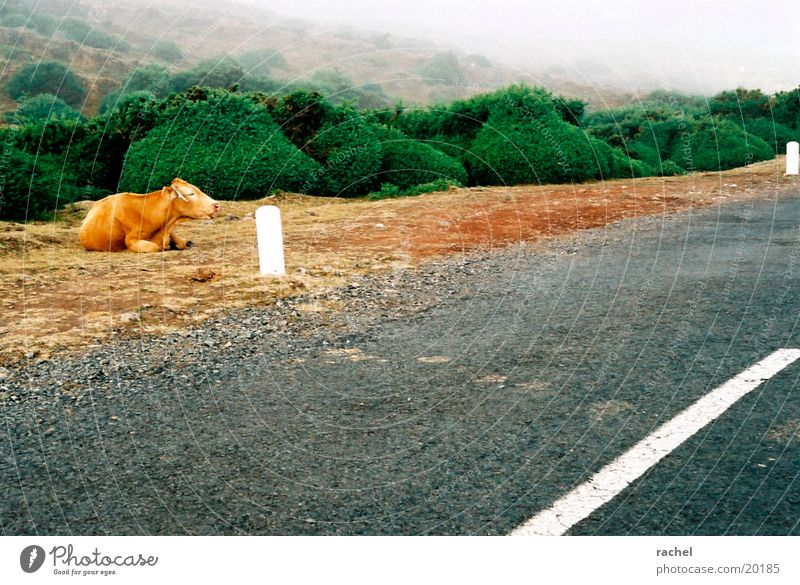 Kühe im Nebel Farbfoto Außenaufnahme Natur Landschaft Erde Sand Wolken schlechtes Wetter Sträucher Hügel Verkehrswege Autofahren Straße Nutztier Kuh 1 Tier