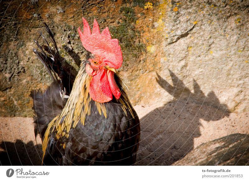 ... der schneller kräht, als sein Schatten Haushuhn Tier Nutztier Tiergesicht Flügel Hahn Hahnenkamm Schnabel 1 frech braun rot Wachsamkeit krähen kikeriki