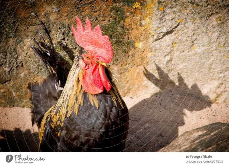 ... der schneller kräht, als sein Schatten schön rot Tier Farbe braun Tiergesicht Flügel Neugier Wachsamkeit Schnabel frech Stolz Haushuhn Hahn Nutztier Hahnenkamm