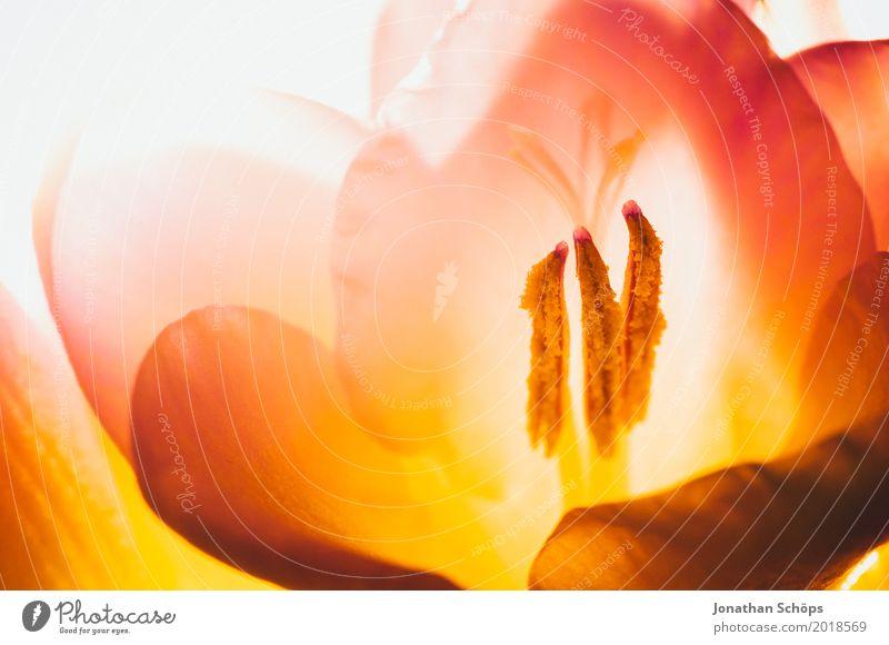 Freesie schön Duft Natur Pflanze Blume Blüte Liebe frisch rot Geschenk Vor hellem Hintergrund Blühend Blühende Landschaften bestäuben Staubfäden Pollen Allergie
