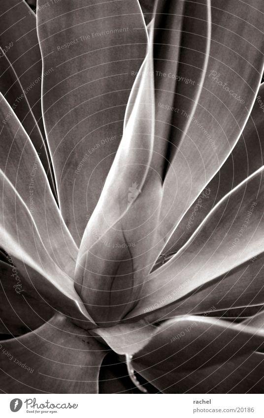 Agave Natur Pflanze Blatt Wüste trocken grau Stachel Schwarzweißfoto Nahaufnahme Makroaufnahme