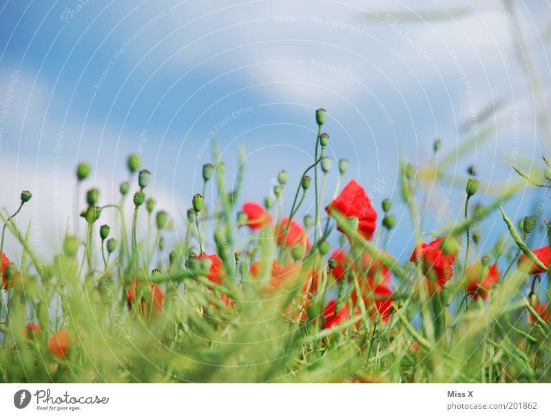 Poppy Natur Himmel Blume grün blau Pflanze rot Sommer Wiese Blüte Gras Garten Feld Duft Mohn Schönes Wetter