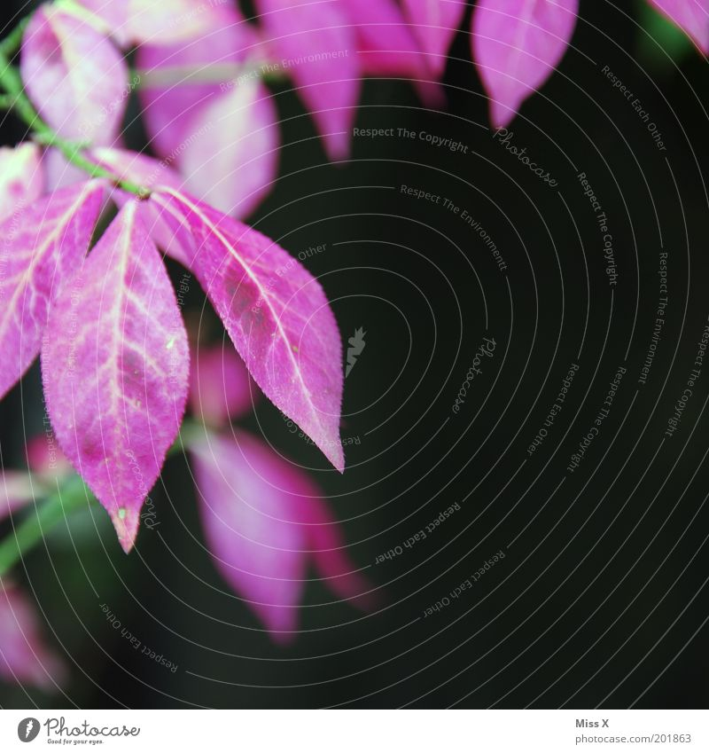Magenta Pflanze Sommer Blume Blatt Farbe Garten rosa Sträucher