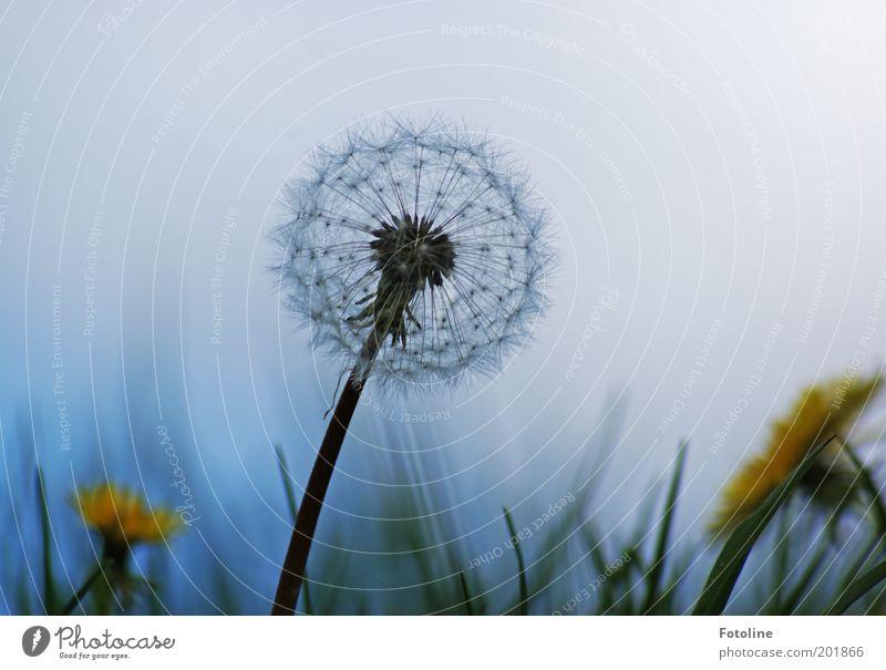 Löwenzahn trifft Pusteblume Natur weiß Blume grün blau Pflanze gelb Wiese Umwelt Löwenzahn verblüht Sonnenlicht Löwenzahnfeld