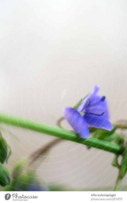 vergissmeinnicht Natur schön Blume grün Pflanze Sommer Farbe Blüte Umwelt violett Vergänglichkeit wild natürlich Stengel Blumenstrauß Blütenblatt