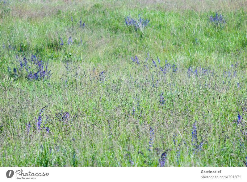 Sommerwiese Umwelt Natur Landschaft Pflanze Frühling Schönes Wetter Blume Gras Blüte Wiese grün violett Blumenwiese Naturschutzgebiet Biotop Gräserblüte