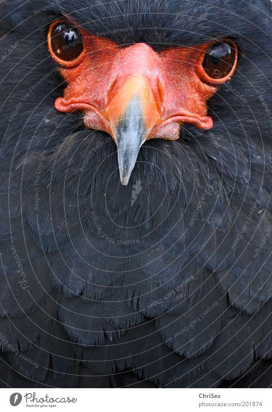 Der Gaukler schaut: Terathopius ecaudatus Natur rot schwarz Auge Tier Vogel Tiergesicht Feder beobachten Wildtier Schnabel selbstbewußt Aktion Sehvermögen