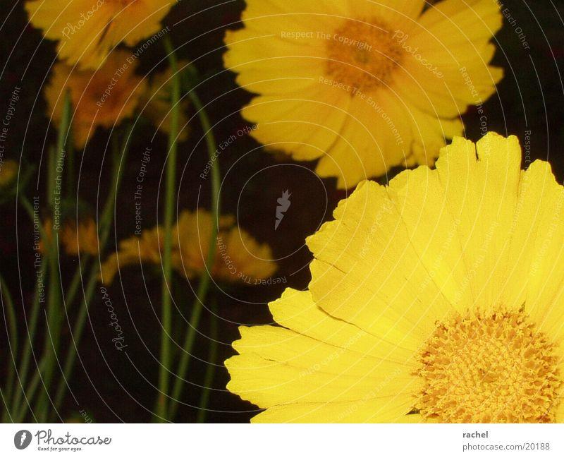 Blüten, Anschnitt Blume Pflanze gelb dunkel