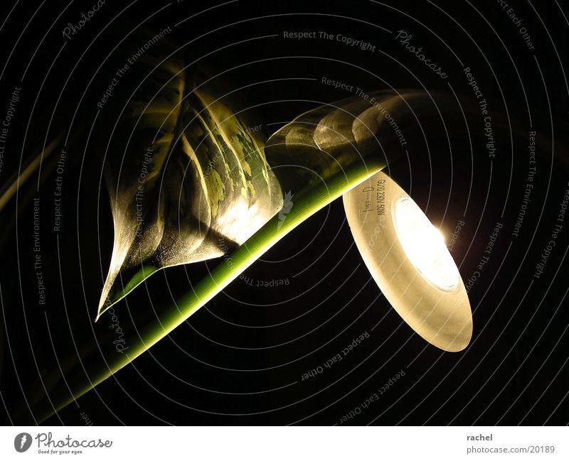 versuchsaufbau grün Pflanze Blatt Lampe dunkel Stengel Staub Gefäße Halogenlampe