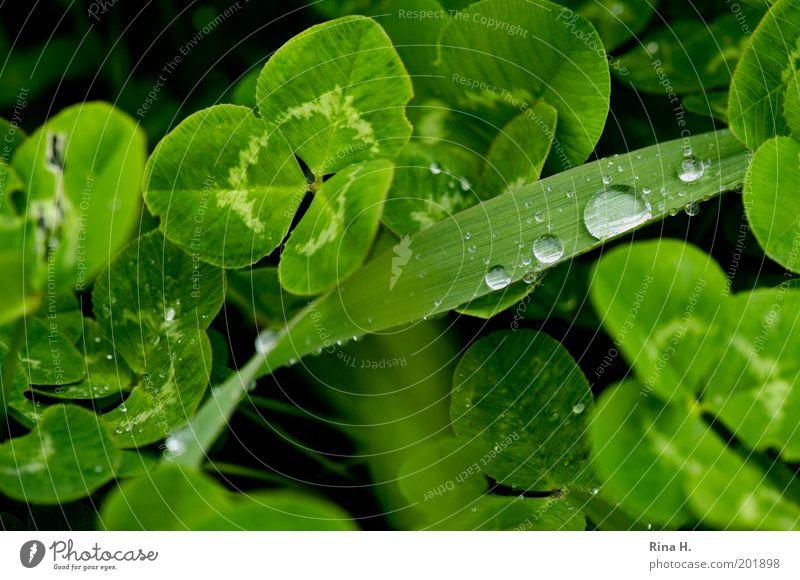 Nach dem Regen Natur Landschaft Pflanze Frühling Wetter schlechtes Wetter Gras Klee Kleeblatt Glücksklee authentisch frisch nass positiv grün Gefühle