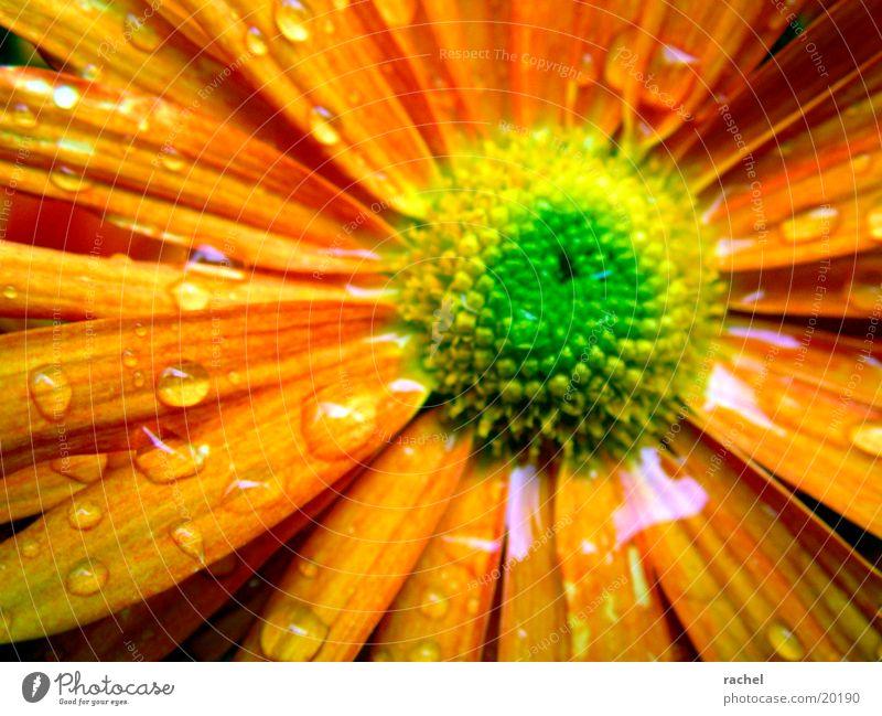 nach dem Regen (vor dem Frost) Blume Blüte grün gelb Unschärfe Herbst Pflanze Wasser Wassertropfen orange Makroaufnahme flower blossom rain raindrop water