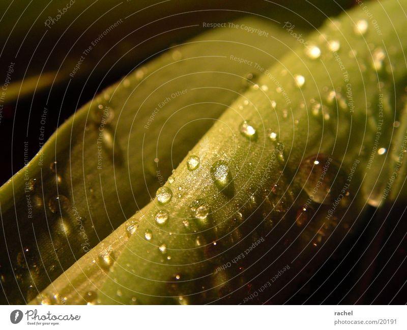 Tropfen auf Tulpenblatt_1 Blatt grün Licht Unschärfe Makroaufnahme Nahaufnahme Wassertropfen Schatten Kontrast drop raindrop leaf light shadow blurred