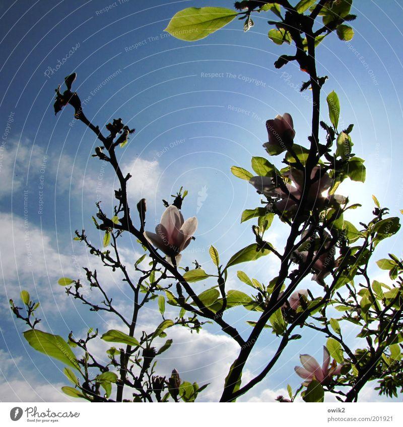 Frühling im Fläming Umwelt Natur Pflanze Luft Himmel Wolken Sonne Klima Schönes Wetter Baum Blatt Blüte Grünpflanze Wildpflanze exotisch Magnolienbaum