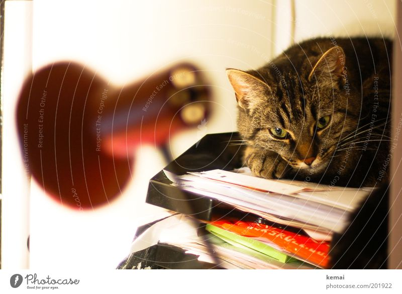 Papiertiger Auge Tier Lampe Erholung Katze Zufriedenheit Tiergesicht liegen Fell Schreibtisch Pfote Haustier gestreift Ablage mehrfarbig
