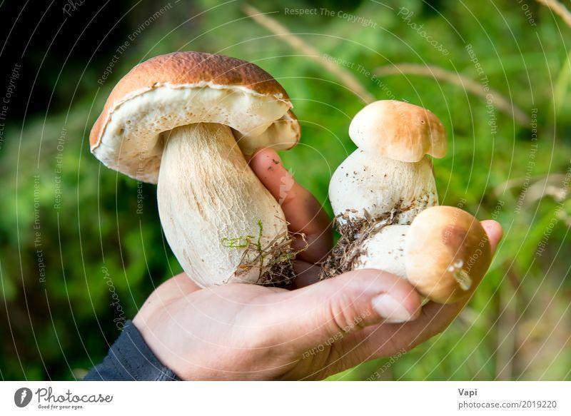 Essbarer frischer Pilzboletus edulis in einer Hand Natur Pflanze Sommer Farbe grün weiß Wald Essen gelb Herbst natürlich Lebensmittel braun orange