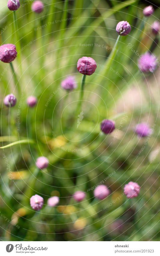 Schnittlauch Natur Pflanze Umwelt Leben Frühling Blüte Garten Feld Ernährung violett Kräuter & Gewürze Nutzpflanze Vogelperspektive Slowfood