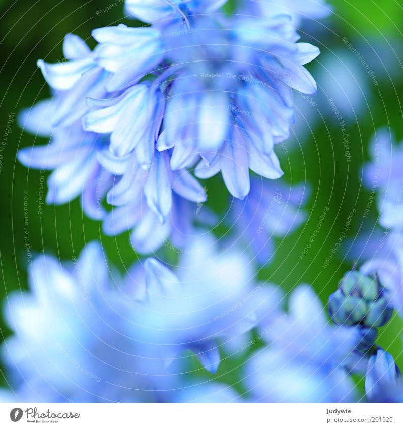 Zartes Blau Natur schön Blume grün blau Pflanze Sommer Blüte Frühling Garten Glück Park Umwelt ästhetisch Wachstum rein