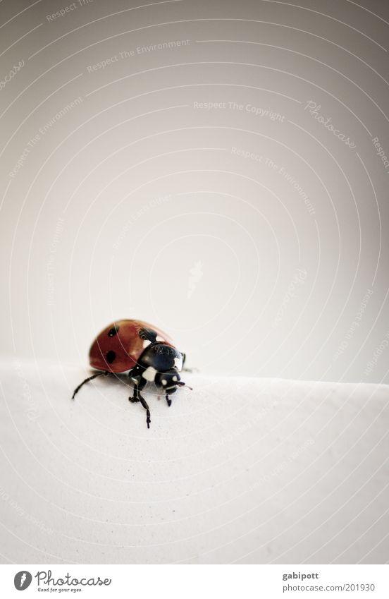 Marie N. Kaefer weiß rot Freude Tier schwarz Wand Glück Fröhlichkeit niedlich Punkt Lebensfreude Käfer krabbeln Marienkäfer Fühler Optimismus