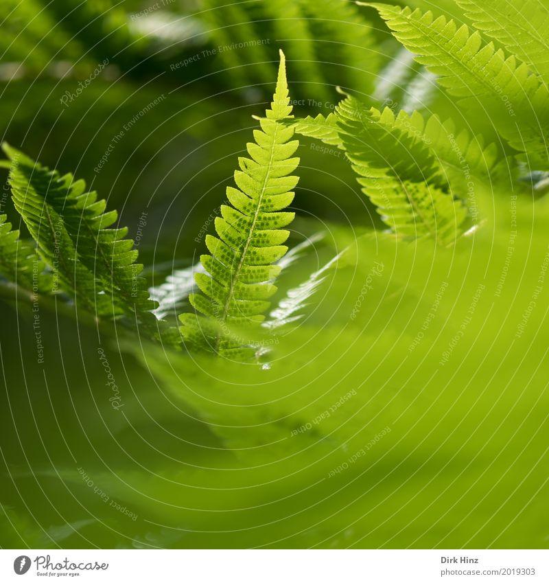 Im Farn versteckt! Natur Pflanze Blume Park Wald Urwald natürlich grün elegant Farbe Stimmung Umwelt Umweltschutz zartes Grün Farnblatt Wachstum Jugendliche
