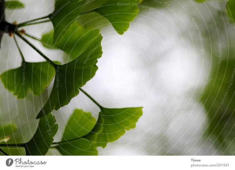 Ginkgo 2 Natur Frühling Pflanze Blatt grün Laubbaum Wachstum Nutzpflanze Unschärfe Farbfoto Außenaufnahme Menschenleer Textfreiraum rechts Gesundheit