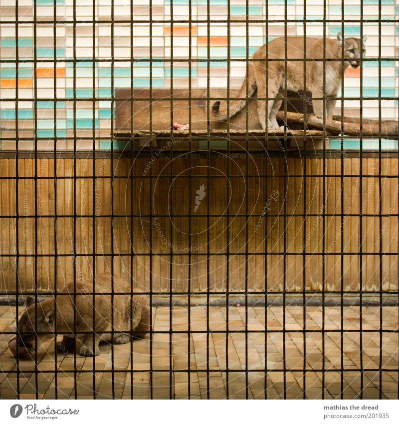 FÜTTERUNGSZEIT Tier Wildtier Katze Zoo 2 füttern Aggression wild Fliesen u. Kacheln Puma gefangen Gitter Gehege Fressen Fleischfresser trist eng Farbfoto