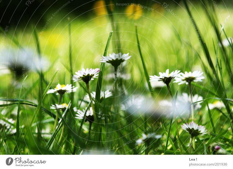 geblümt Natur Wiese Gras Frühling Garten natürlich Halm Gänseblümchen Umwelt Blume