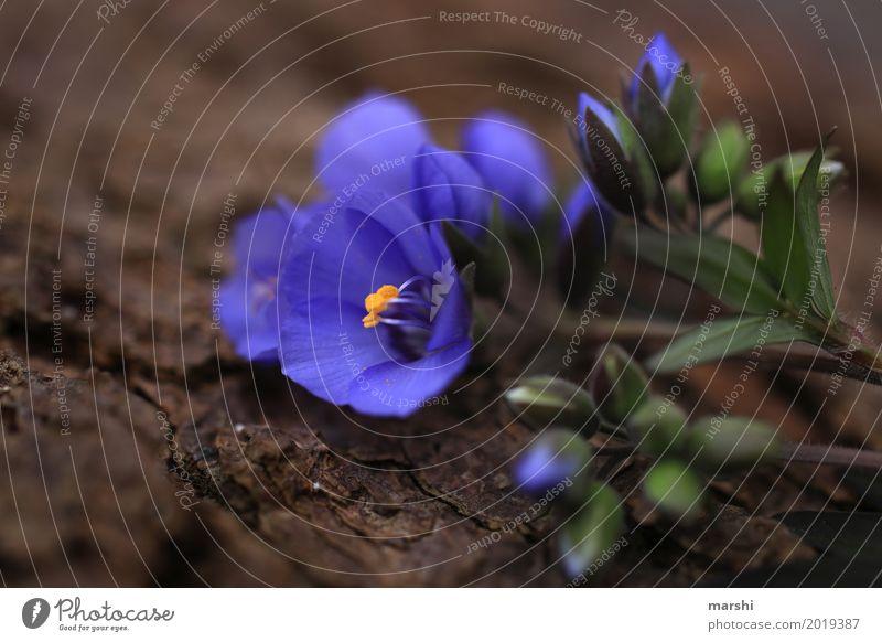 lila Umwelt Pflanze Blume Stimmung violett Garten Blüte Blütenknospen Frühling zart Farbfoto Außenaufnahme Nahaufnahme Detailaufnahme Makroaufnahme