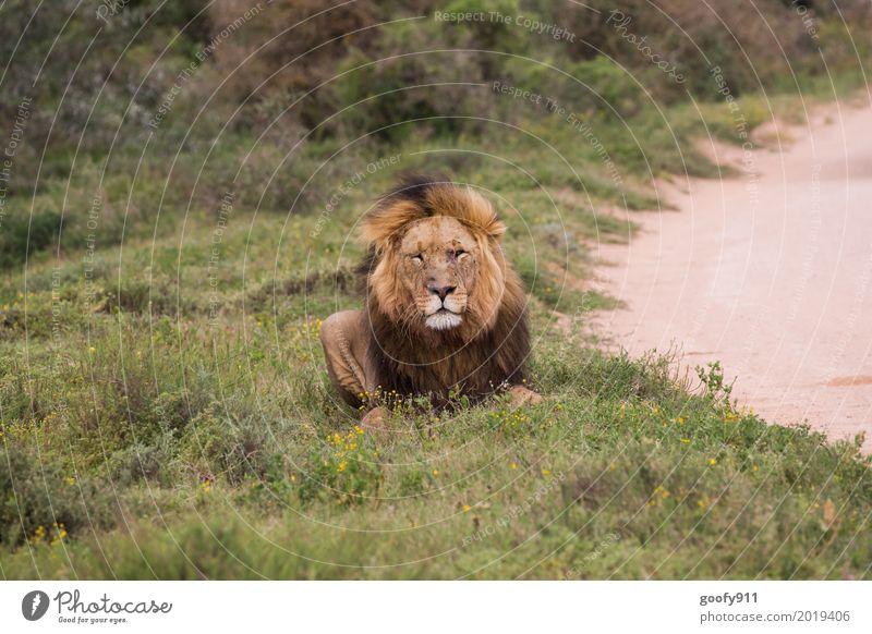 Total Entspannt II Umwelt Natur Landschaft Sommer Wärme Dürre Gras Sträucher Wüste Savanne Südafrika Afrika Menschenleer Tier Wildtier Katze Tiergesicht Fell