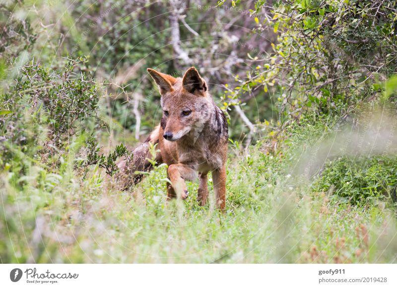 Der Schakal Natur Hund Pflanze Sommer Landschaft Tier Wärme Umwelt Frühling natürlich Bewegung Gras elegant Wildtier Sträucher laufen