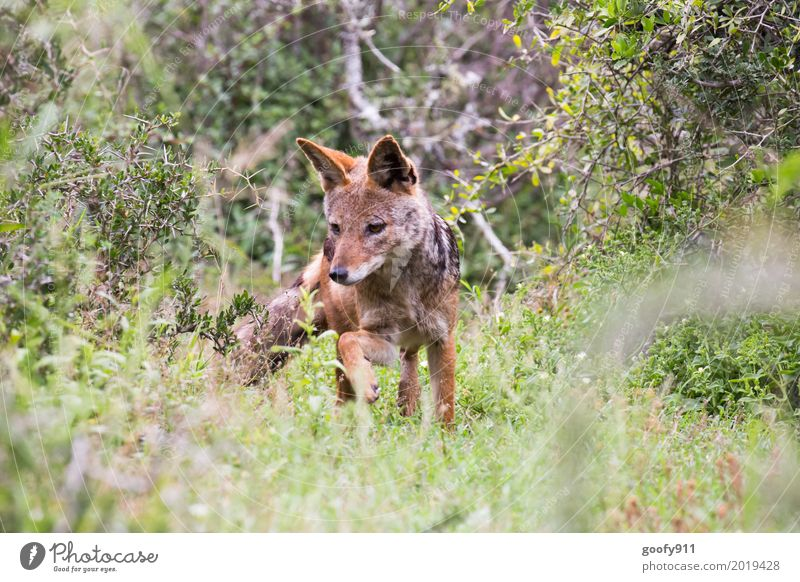 Der Schakal Umwelt Natur Landschaft Frühling Sommer Wärme Dürre Pflanze Gras Sträucher Grünpflanze Savanne Südafrika Afrika Menschenleer Tier Wildtier Hund