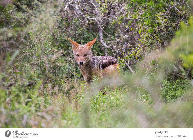 Der Schakal II Umwelt Natur Frühling Sommer Wärme Dürre Pflanze Baum Gras Sträucher Grünpflanze Savanne Südafrika Afrika Menschenleer Tier Wildtier Hund