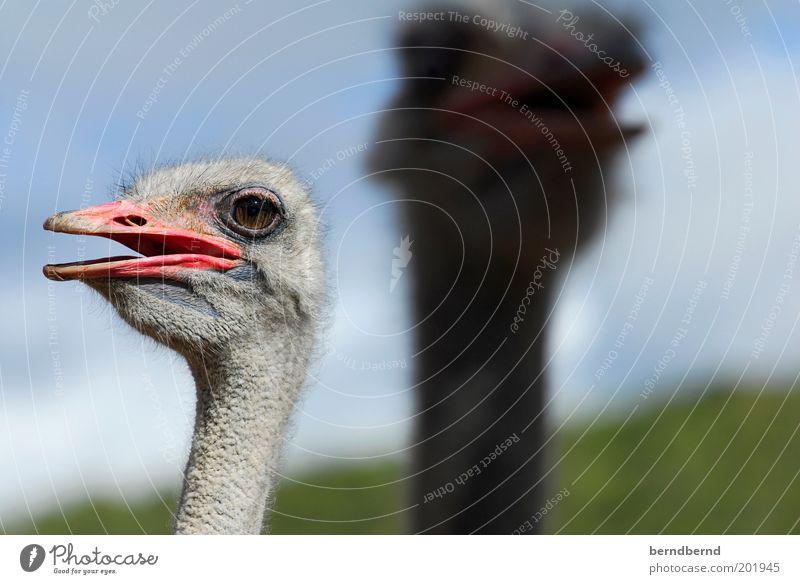 Hääää Natur Himmel grün blau Sommer Freude Tier Kopf grau Vogel rosa Tiergesicht Afrika Neugier entdecken