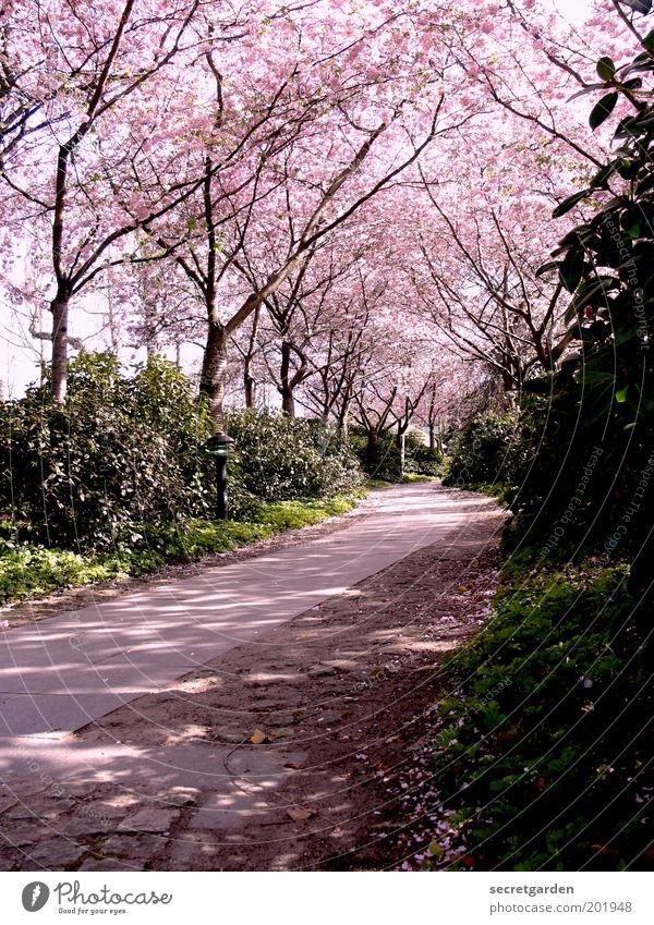 der weg ist das ziel. Natur schön Baum Pflanze ruhig Erholung Umwelt Blüte Wege & Pfade Frühling Park rosa Sträucher Romantik Ziel Idylle
