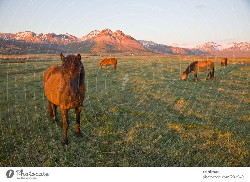 Island-Ponys grün Tier Wiese Gras Berge u. Gebirge Landschaft braun Feld Pferd Tiergruppe Fell Hügel Weide Fressen