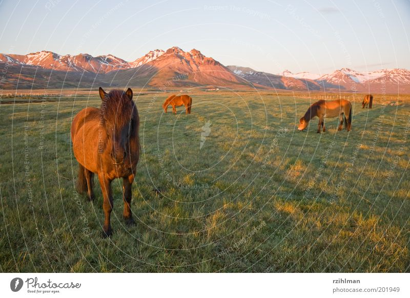 Island-Ponys grün Tier Wiese Gras Berge u. Gebirge Landschaft braun Feld Pferd Tiergruppe Fell Hügel Weide Island Fressen