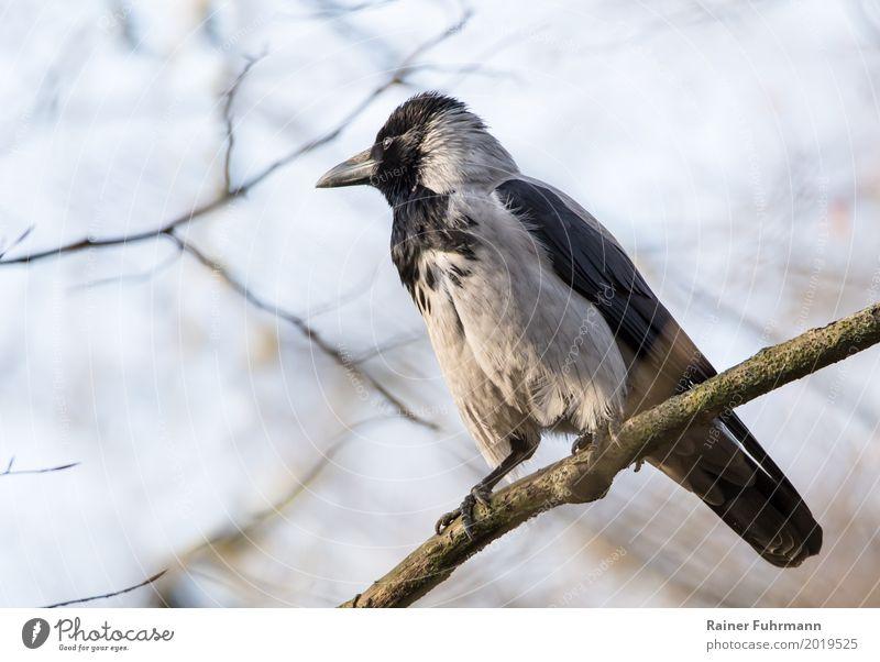 """eine Nebelkrähe sitzt auf einem Ast Natur Tier Schönes Wetter Park """"Vogel Krähe Rabe"""" 1 Zufriedenheit """"warten Frühling sitzen,"""" Gedeckte Farben Außenaufnahme"""
