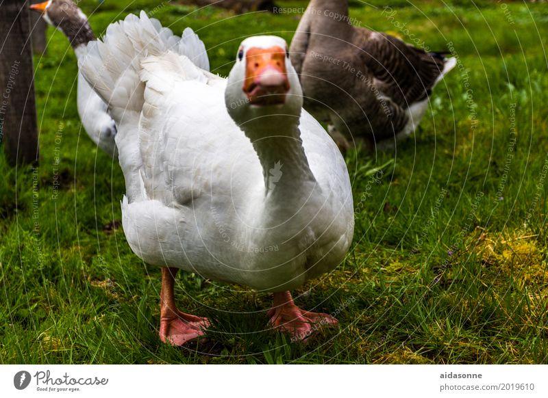 gans Tier Vogel 1 Blick Gans weiß Bauernhof Farbfoto Außenaufnahme Menschenleer Tag Profil Blick in die Kamera