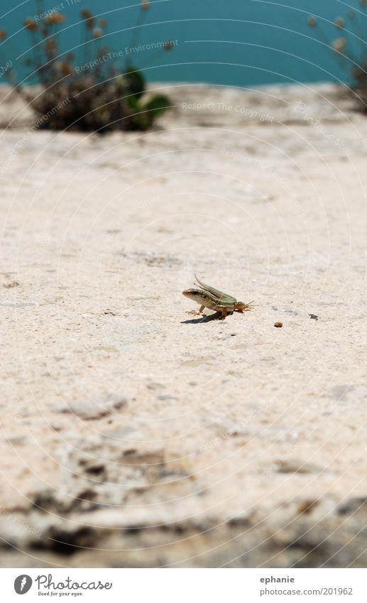 ...beim täglichen flanieren Himmel blau Pflanze Tier Bewegung Stein Sand Sträucher Neugier Wildtier trocken Schönes Wetter Echsen
