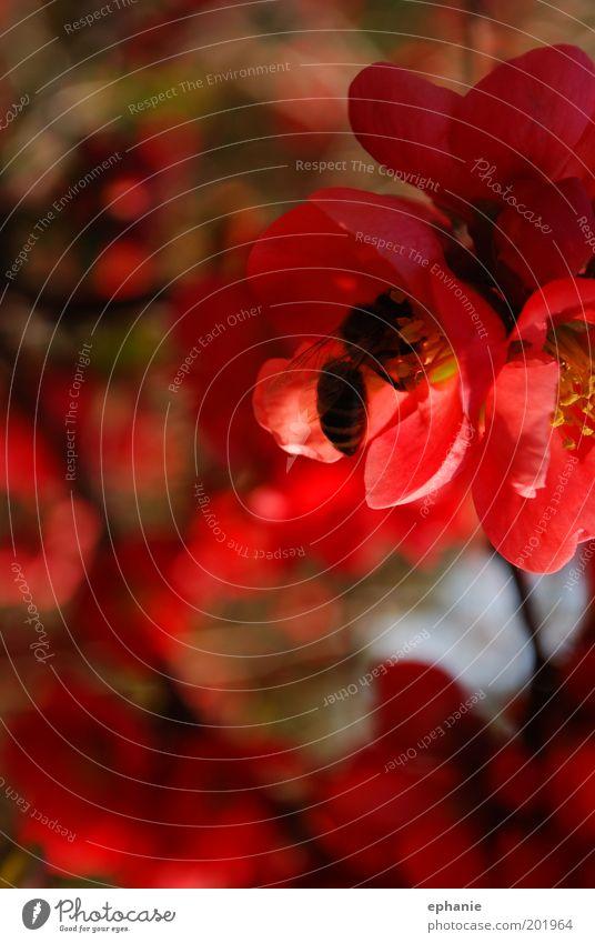 süßer Saft Umwelt Natur Frühling Pflanze Blume Blüte Nutztier Biene Arbeit & Erwerbstätigkeit Duft Farbfoto mehrfarbig Außenaufnahme Nahaufnahme Makroaufnahme