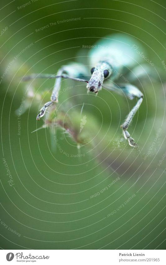 was guckst du den so? Natur grün Auge Tier klein Tiergesicht Insekt Fühler Rüsselkäfer