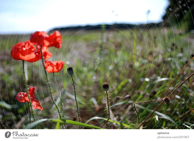 ein Sommer vergeht Umwelt Natur Pflanze Blume Wiese verblüht Wärme rot Farbfoto mehrfarbig Außenaufnahme Nahaufnahme Tag Zentralperspektive Feld Mohnblüte