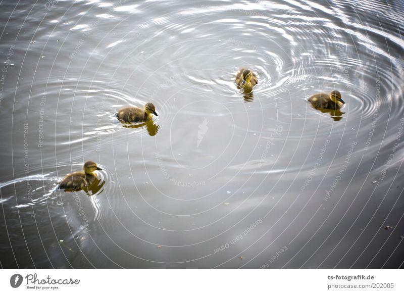 The Gang of Four Umwelt Natur Urelemente Wasser Frühling Park See Fluss Tier Wildtier Ente Stockente Küken Entenküken 4 Tiergruppe Tierjunges Neugier niedlich