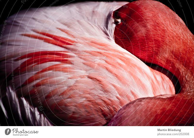 sleepmode weiß rot Tier Erholung Gefühle träumen Zufriedenheit rosa glänzend Wildtier wild natürlich liegen schlafen Flügel weich